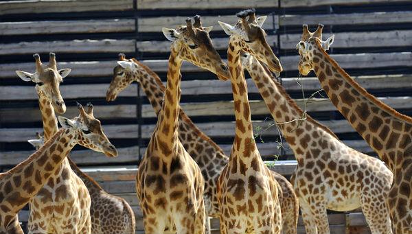 Giraffes du Zoo de Vincennes