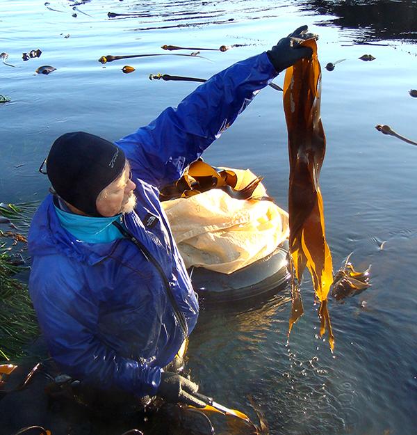 edible-seaweed_cutting_600c625