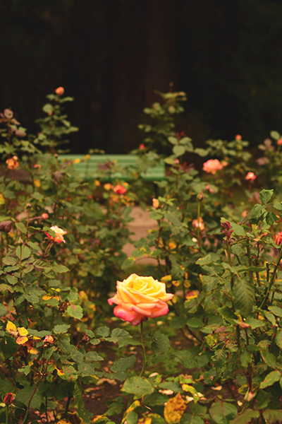 rose_garden_3_400c600