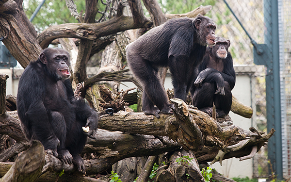 Which-Apes-at-Lincoln-Park-Zoo-Are-Most-Likely-to-Take-Over-the-Planet-Hank-Kathy_600c375