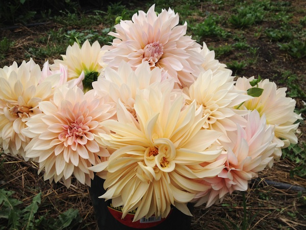 dont-buy-flowers-that-have-more-frequent-flyer-miles-than-you-do_dahlia_600c450