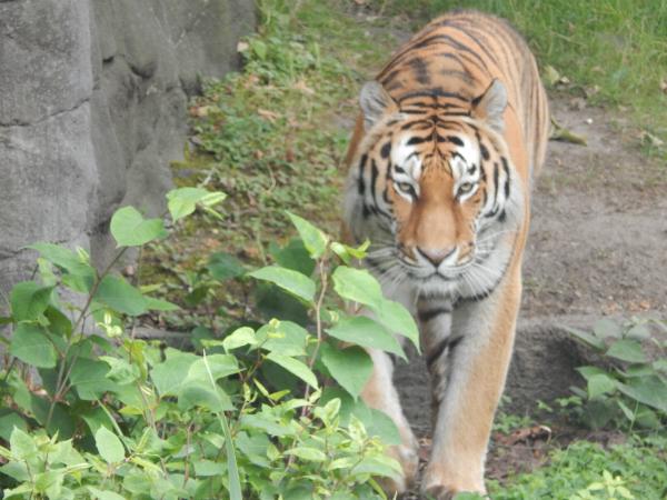 Hagenbeck Tierpark Tiger
