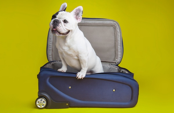 Traveling with Pets Manny the Frenchie with Suitcase