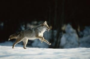 Skiing Safari  coyote