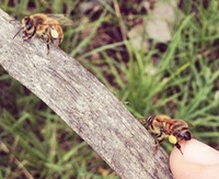Bees on branch