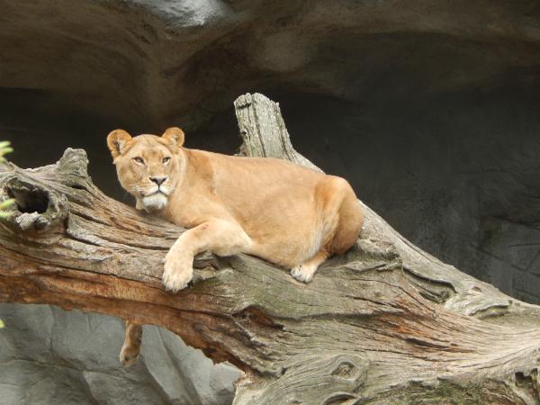 Hagenbeck Tierpark Löwe