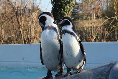 Pinguine im Kölner Zoo