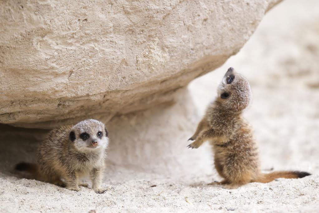 Baby meerkats in Dublin Zoo