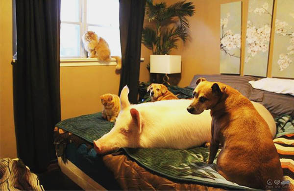 groupon-the-cat-interviews-esther-the-wonder-pig-about-veganism_family_600c390