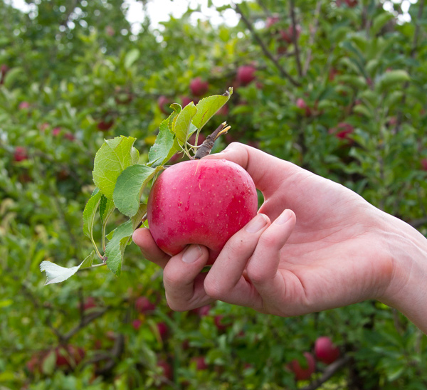 Five Orchards For Autumn Apple Picking Near Chicago