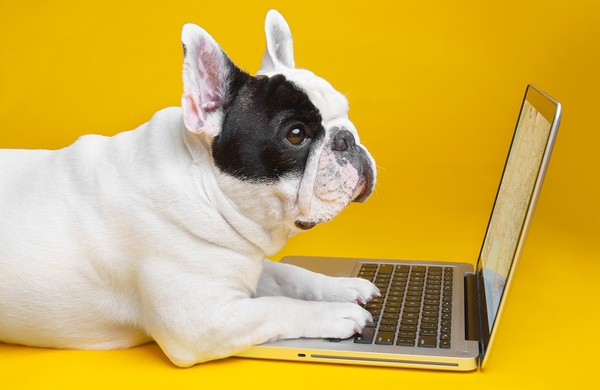 Traveling with Pets Manny the Frenchie with Laptop