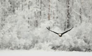 Skiing Safari  eagle