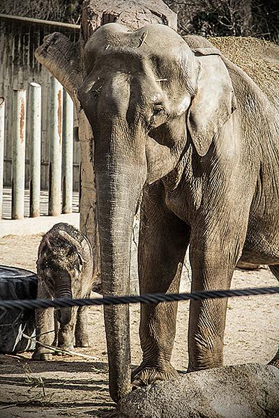 Elefante con cría en Zoo de Madrid