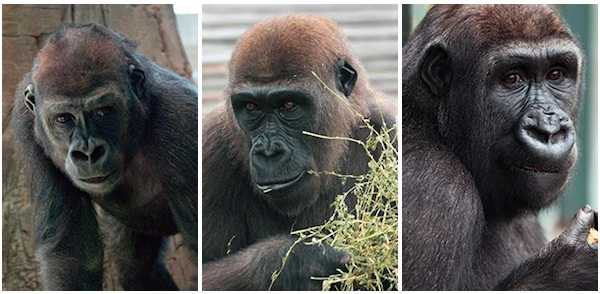 Which-Apes-at-Lincoln-Park-Zoo-Are-Most-Likely-to-Take-Over-the-Planet-umande-mosi-amare-600c294