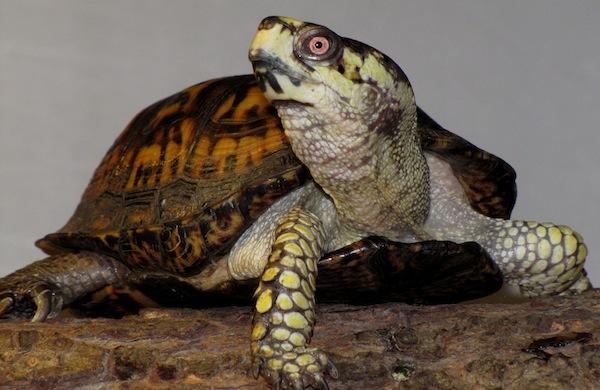 teenage-mutant-ninja-turtles-scientific-experts-weigh-in-boxturtle_600c390