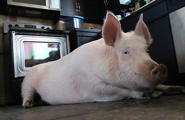 groupon-the-cat-interviews-esther-the-wonder-pig-about-veganism_kitchen_600c390