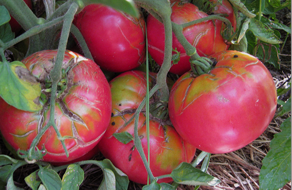 heirloom-tomatoes-flavorful-dishes-at-four-chicago-restaurants_caspian_pink_600c390