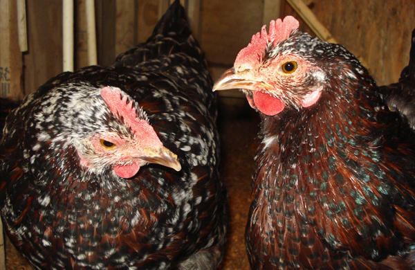 Commanders of the Coop: Chicago's Chicken Keepers