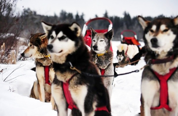 What It s Like to Lead a Dog Sledding Team