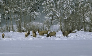 Skiing Safari  elk herd