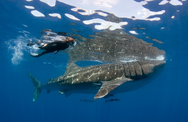 Top Six Places to Snorkel whale shark