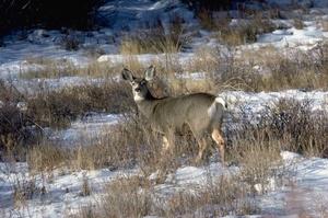 Skiing Safari  mule deer