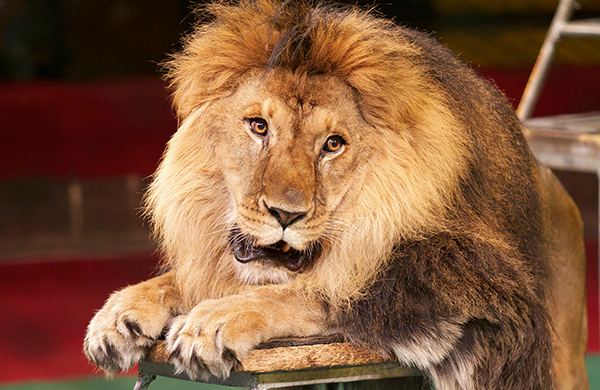 Ringling Bros.' Alexander Lacey on Training Big Cats Hero