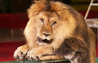 Ringling Bros. Big Cat Lion