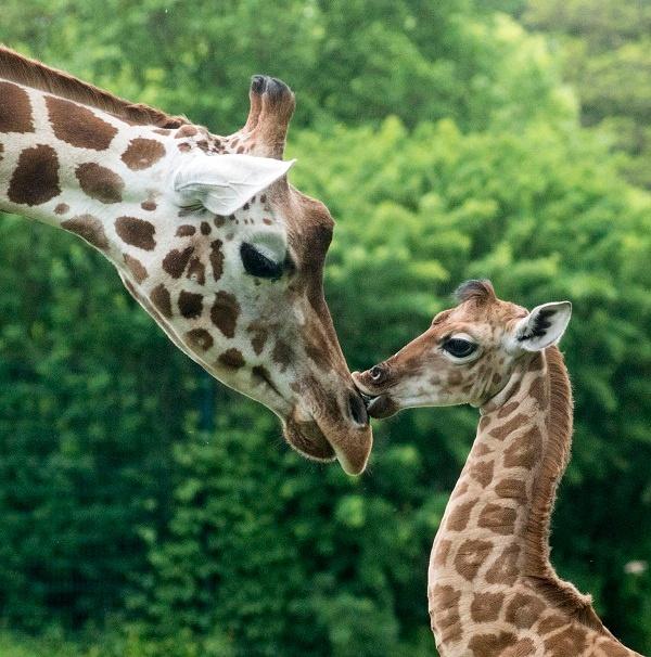 Uganda Giraffe Bine und Tante Andrea im Tierpark Berlin © Tierpark Berlin