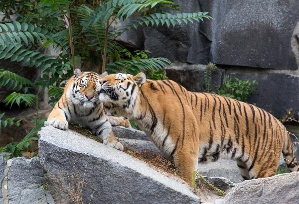 Tiger im Tierpark Berlin © Tierpark Berlin