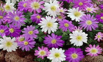 Pre-Order: Anemone Dutch Fireworks Flower Bulbs Mix (30, 45, 90-Pack)