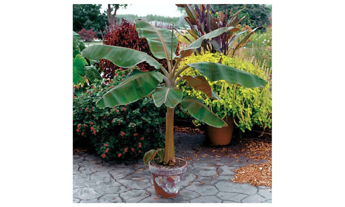 Musa Dwarf Cavendish Banana Tree Live Plant Fruit