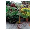Musa Dwarf Cavendish Banana Tree Live Plant Fruit Live tree