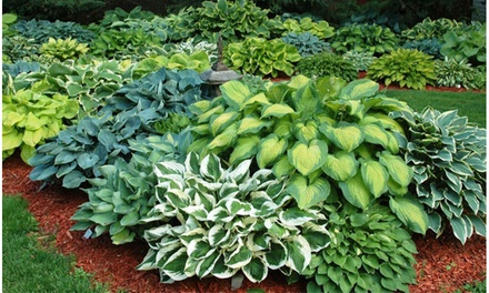 Hardy Heart-Shaped Hosta Bare Roots (Set of 6,12, or 24)