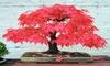 Red Japanese Maple, (Palmatum atropurpureum) Landscaping Tree Seeds Bonsai