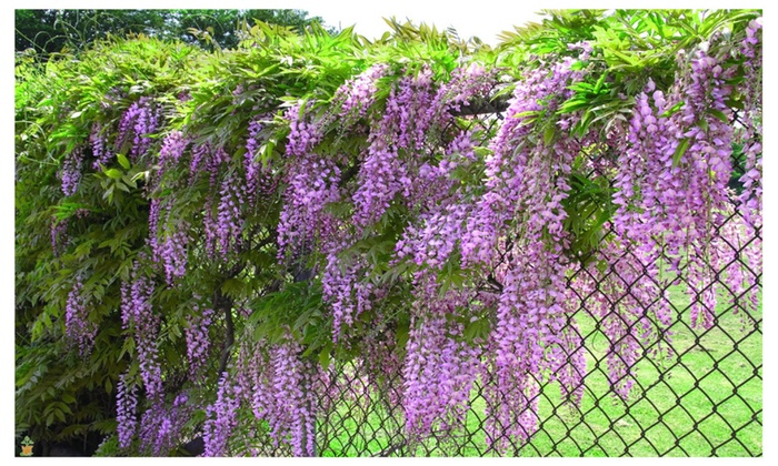 Amethyst Falls Wisteria Vine Live Plant 3 Inch Pot Groupon