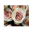 Kathy Yates Pale Pink Roses Canvas Print