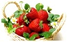 Online Trader: Strawberry Plants, 25 Bare Root Tribute Everbearing Live Plants