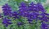 Blue Salvia, Blue Monday, Blue Flowers, Heirloom Flower Seeds, Annual Seeds 50ct