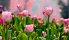 Spring Showgirl Tulip Flower Bulbs (10pk, 20pk, 50pk-With Planting Tool)