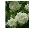 Old Fashion Snowbal Viburnum (Viburnum opulus roseum) While live Plant