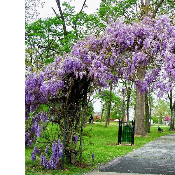Up To 37 Off On Amethyst Falls Wisteria Vine Groupon Goods