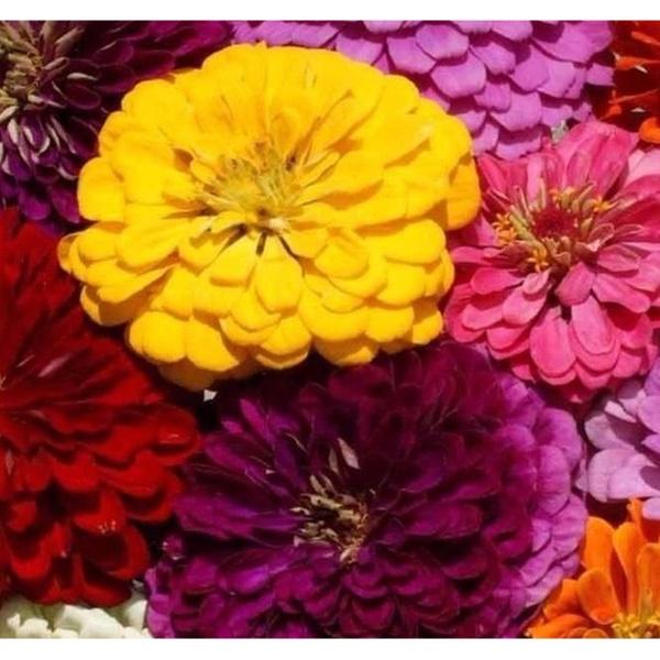 Zinnia Dahlia Flowered Mix 250 Seeds Cut Flower Beautiful Gardenplants