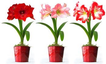 Amaryllis Planting Kit with Bulb, Soil, and Pot