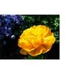Kurt Shaffer 'Yellow Double Headed Tulip' Canvas Art