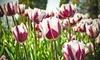 Blueberry Swirl Tulip Flower Bulbs (10pk, 20pk, 40pk with bulb planter)