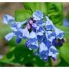 5/10/20 Virginia Bluebell flower root- Shade Lover (Mertensia)