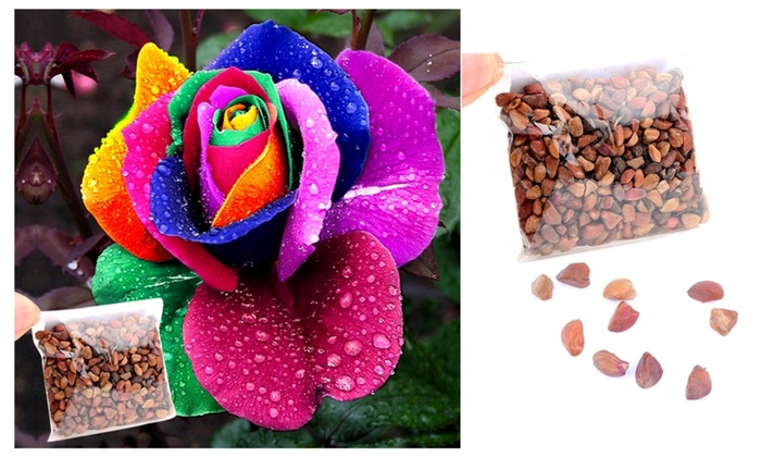 500 seeds rainbow petal rose groupon for Buy rainbow rose seeds