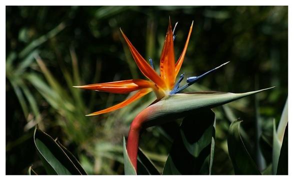 Bird of Paradise Strelitzia Reginae Live Outdoor Garden Plant Tree