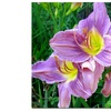 Kathie McCurdy 'Lavender Day Lily' Canvas Art